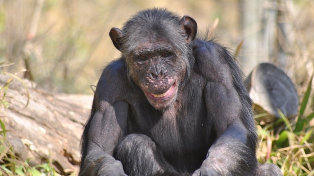 Les chimpanzés du parc national de Taï en voie de disparition à cause d'une forme nouvelle d'Anthrax ©Flickr Afrika Force
